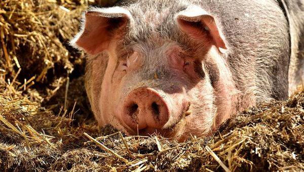 Szybka sprzedaż automatów paszowych dla świń