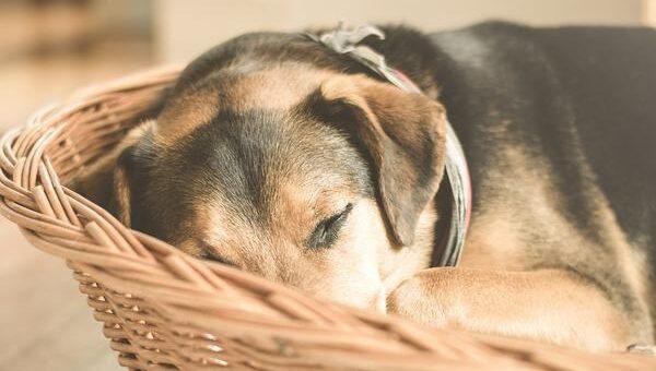 Jaką leżankę dla psa kupić?