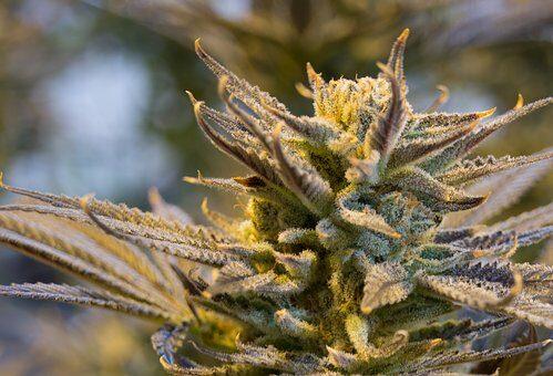Gdzie nayć nasiona marihuany?